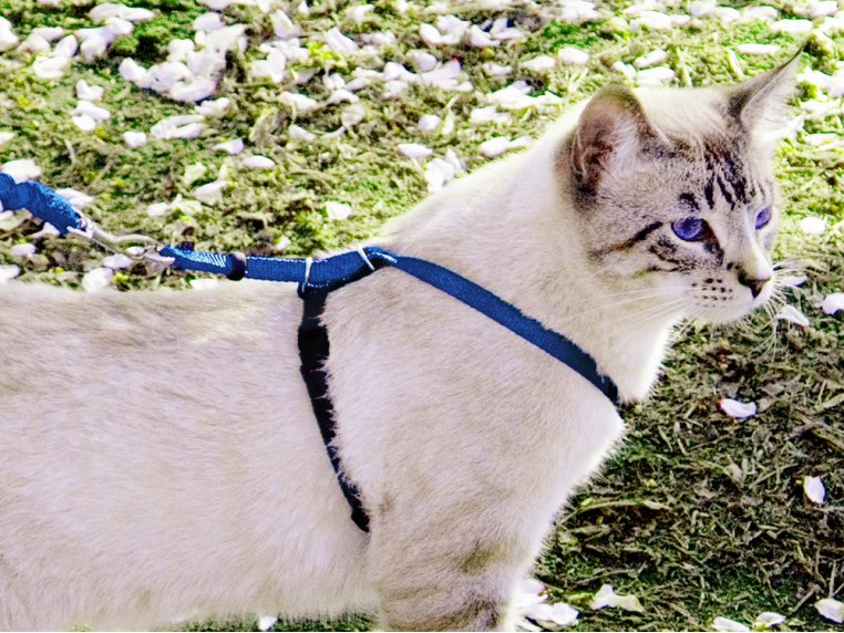 Come With Me Kitty™ Harness & Leash by PetSafe® - 1